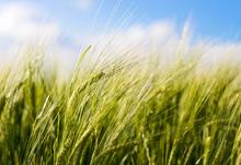 wheatsm