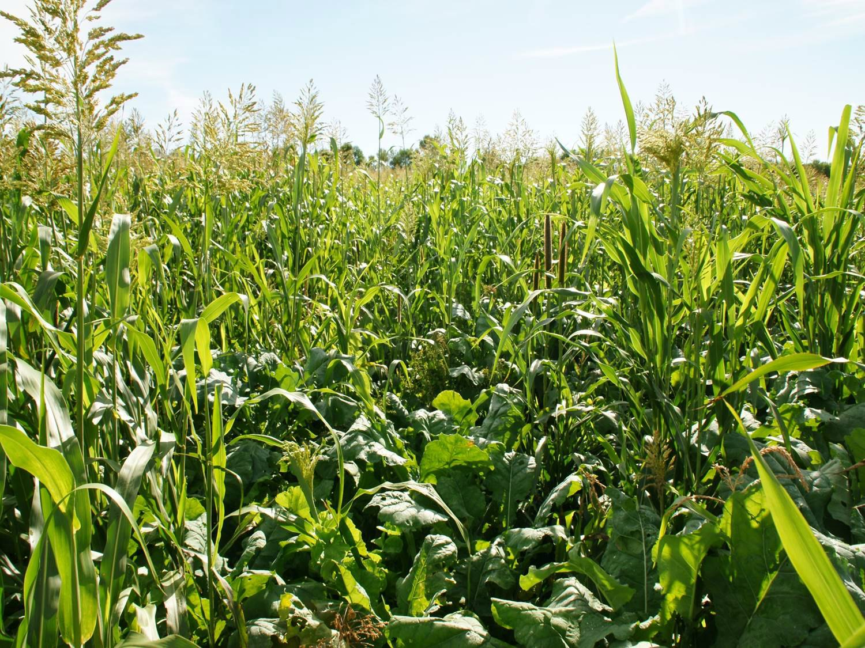 Multi species cover crop
