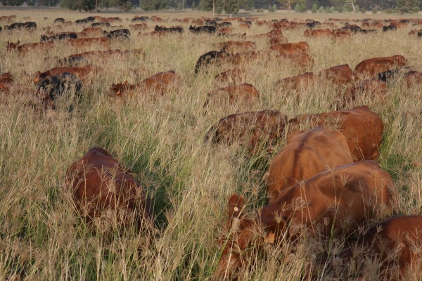 Our cattle cover shot