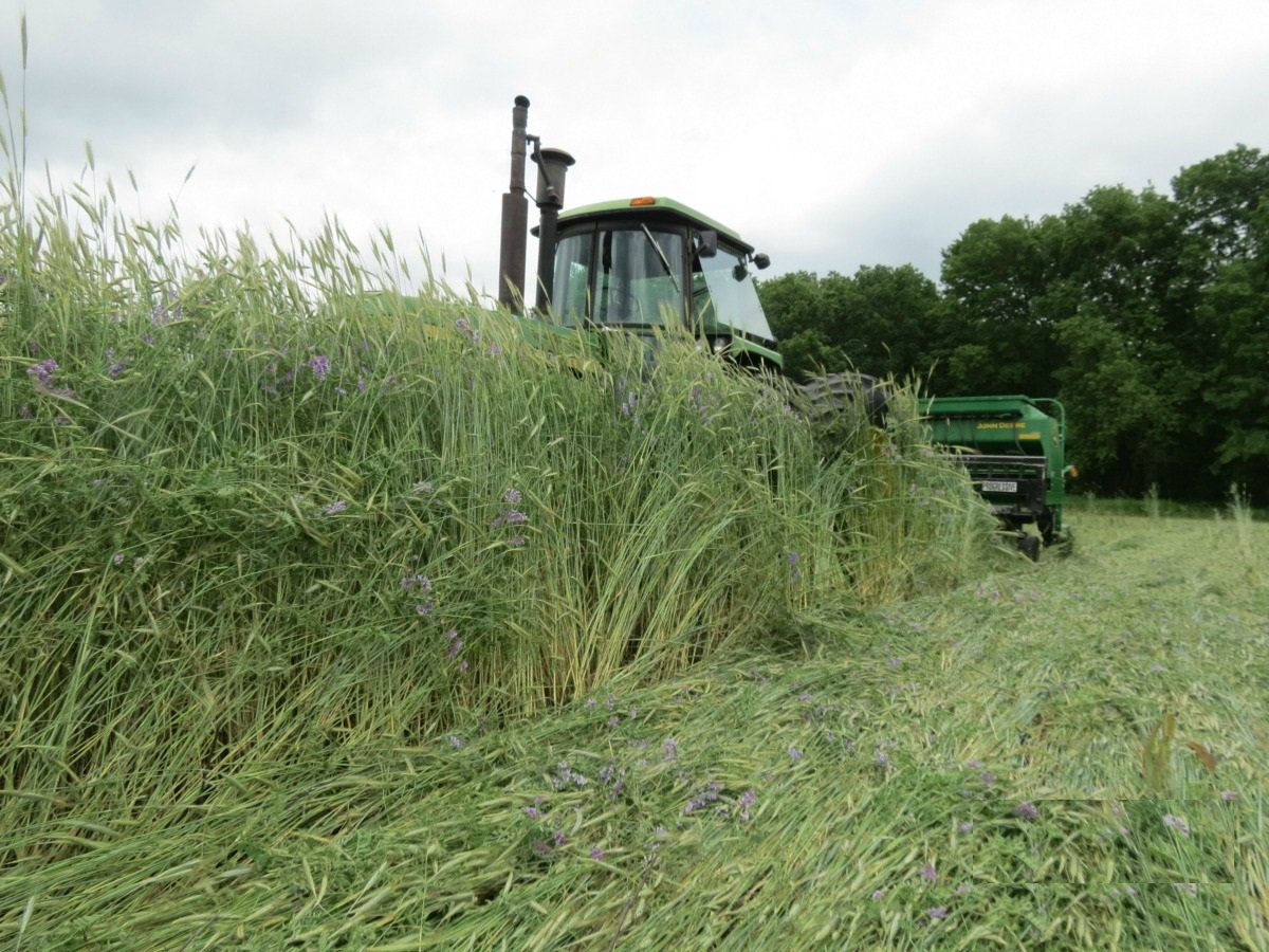 Rolling a cereal rye & vetch cover crop