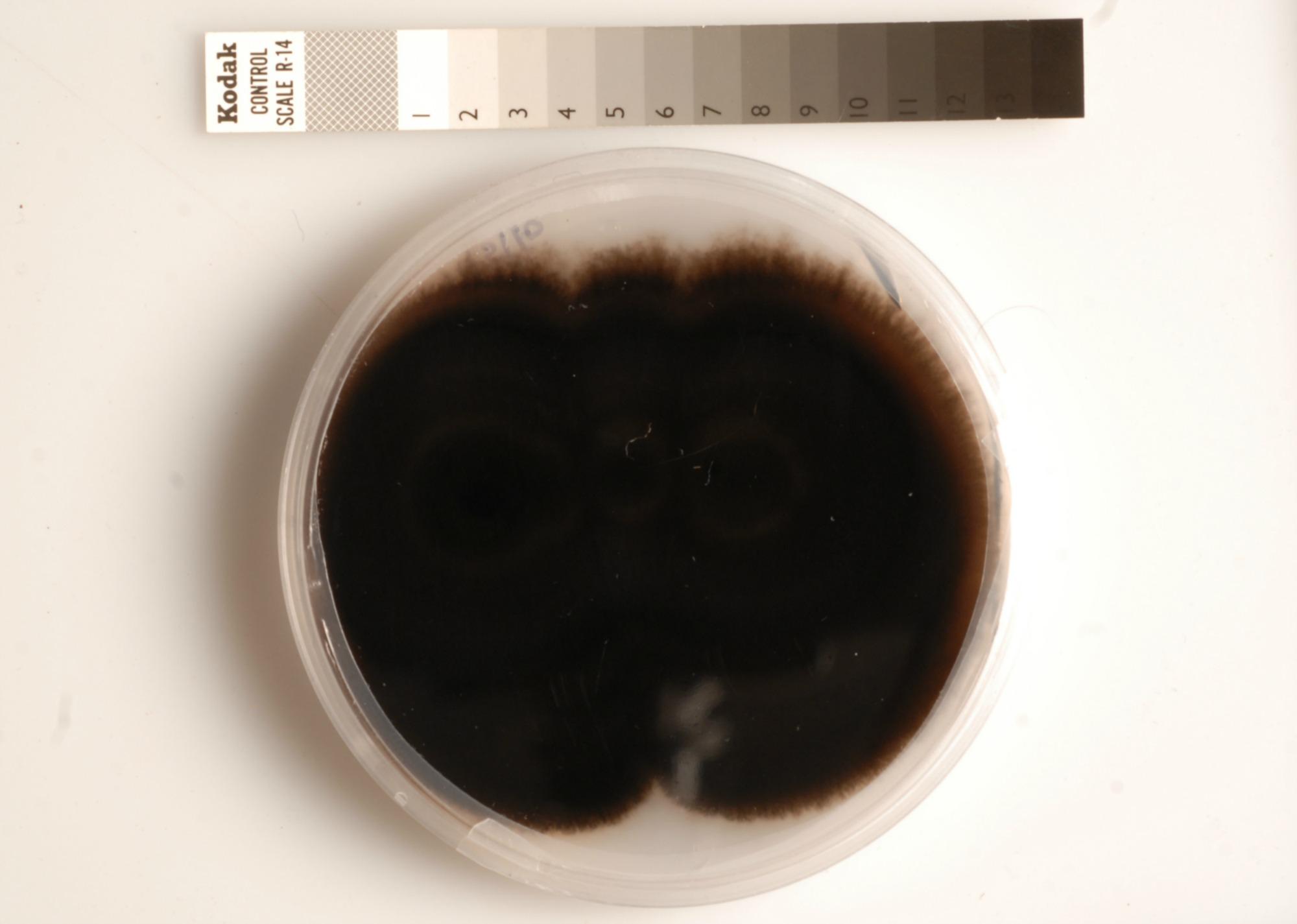 Melanised fungus growing on an agar plate